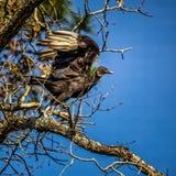 Zwarte Gier Klaar te vliegen Stock Foto