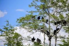 Zwarte Gieren Stock Foto's