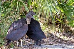 Zwarte Gieren Stock Afbeeldingen