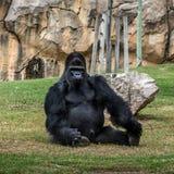Zwarte gorillazitting, de dierentuin van Lissabon, Portugal Stock Afbeelding
