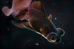 Zwarte goudvis Stock Afbeeldingen