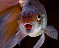 Zwarte goudvis Veiltail Stock Afbeeldingen