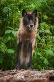 Zwarte Grey Wolf Canis-wolfszweer op Logboek royalty-vrije stock foto