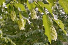Zwarte haagbeuk, zaadhoofden en bladeren Stock Fotografie