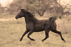 Zwarte hengst Royalty-vrije Stock Foto's