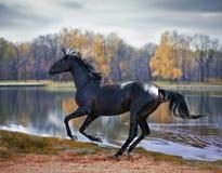 Zwarte hengst Royalty-vrije Stock Afbeeldingen