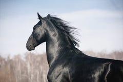 Zwarte hengst Royalty-vrije Stock Fotografie