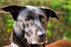 Zwarte Herder Dog Keeping Watch in zijn Werf royalty-vrije stock foto's