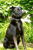 Zwarte Herder Dog Keeping Watch in zijn Werf tijdens de zomer stock afbeeldingen