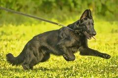 Zwarte herdershond op leiband op groen royalty-vrije stock foto