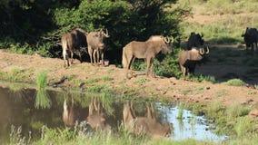 Zwarte het meest wildebeest bij een waterhole stock video