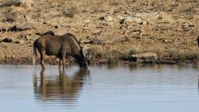 Zwarte het meest wildebeest bij een waterhole stock footage