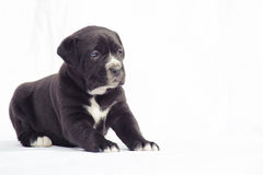 Zwarte het puppyhond van rietcorso royalty-vrije stock afbeeldingen