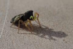 Zwarte het springen spin Royalty-vrije Stock Afbeeldingen
