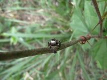 Zwarte het springen spin op boomtak in Swasiland Royalty-vrije Stock Afbeeldingen