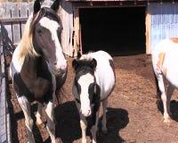 Zwarte Heuvelswild paarden Stock Fotografie