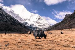 Zwarte Himalayan-jakken bij de berg van de gebieds agains sneeuw bij Yading-Natuurreservaat, stock foto's