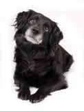 Zwarte hond Royalty-vrije Stock Foto