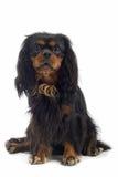 Zwarte hond Royalty-vrije Stock Afbeelding