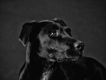 Zwarte hond (75) Royalty-vrije Stock Fotografie