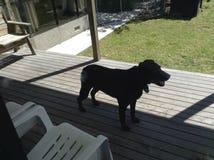 Zwarte hond Stock Foto