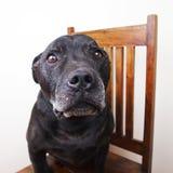 Zwarte hond Stock Foto's