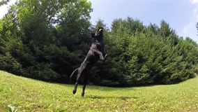 Zwarte hond stock video