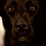 Zwarte hond 144 Stock Foto's