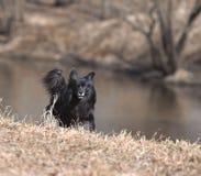Zwarte hond Stock Afbeelding