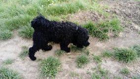 Zwarte hond Stock Fotografie