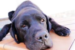 Zwarte hond stock afbeeldingen