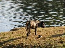 Zwarte hond Royalty-vrije Stock Afbeeldingen