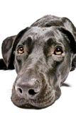 Zwarte hond die droevig kijkt Stock Foto