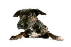 Zwarte hond die droevige II kijkt Royalty-vrije Stock Afbeeldingen