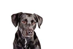 Zwarte hond die droevige III kijkt Stock Fotografie