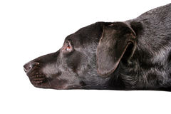 Zwarte hond die droevige V kijkt Royalty-vrije Stock Afbeelding