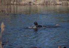 Zwarte hond die eenden in het meer achtervolgen stock foto