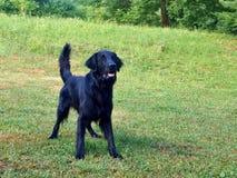 Zwarte Hond die op een Bal wachten royalty-vrije stock afbeeldingen