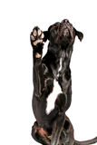 Zwarte hond die poot toont Stock Afbeeldingen