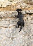 Zwarte hond die rots beklimmen Royalty-vrije Stock Foto