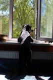 Zwarte hond die uit het venster kijken royalty-vrije stock afbeeldingen