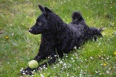 Zwarte hond een Kroatische herder Stock Fotografie