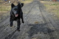 Zwarte hond een Kroatische herder Stock Afbeelding