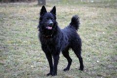 Zwarte hond een Kroatische herder Stock Afbeeldingen