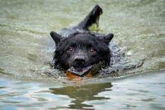 Zwarte hond een Kroatische herder Royalty-vrije Stock Fotografie