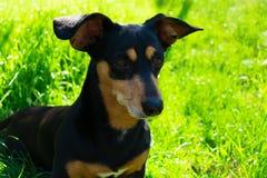 Zwarte hond in het gras in het park royalty-vrije stock afbeeldingen