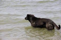 Zwarte hond in het overzees Stock Afbeeldingen