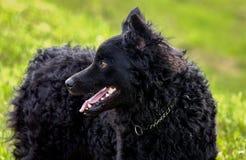 Zwarte hond Kroatische Herder Rea Stock Afbeeldingen