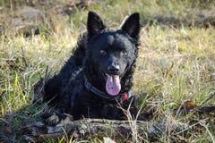 Zwarte hond Kroatische Herder Ringo 2 Royalty-vrije Stock Afbeelding