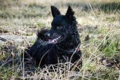 Zwarte hond Kroatische Herder Ringo Royalty-vrije Stock Fotografie